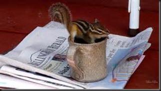 Chipmunk, Newspaper2